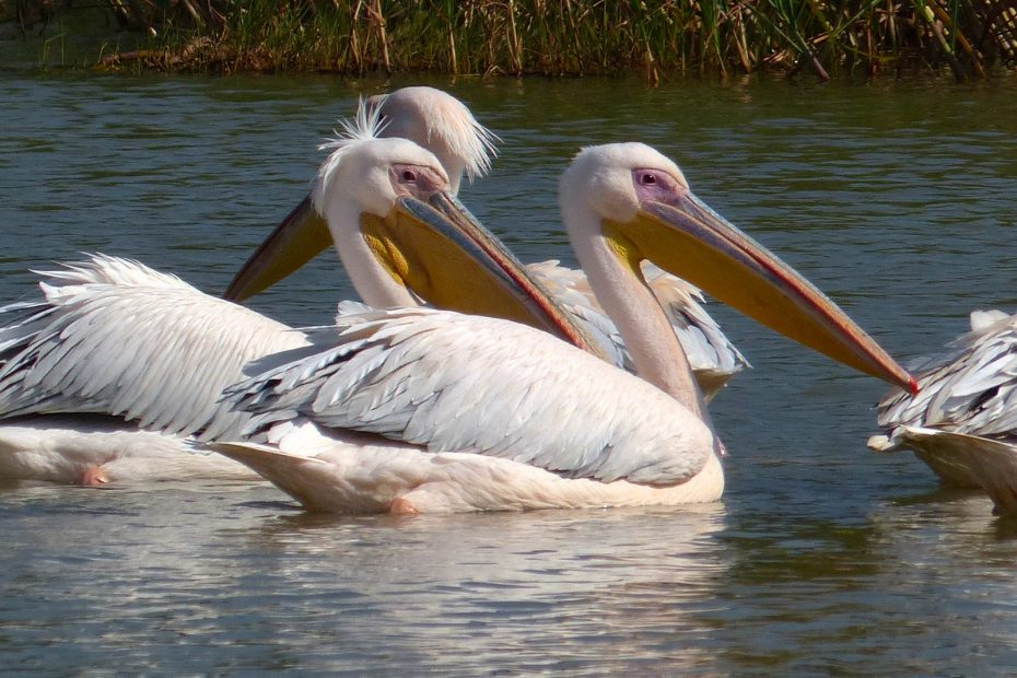 Pélicans blancs, lac Tana
