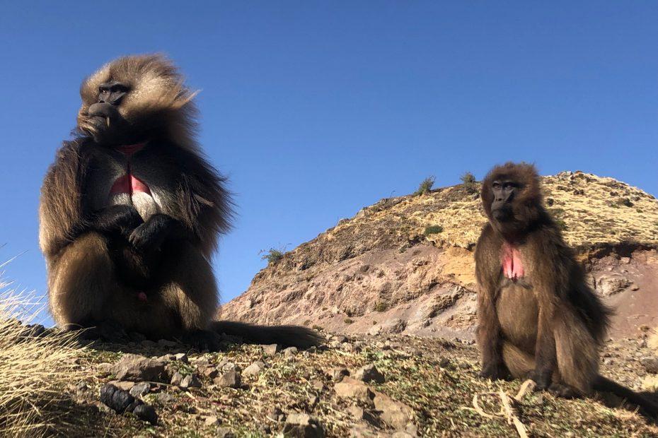 Babouins Gelada, Parc National du Simien