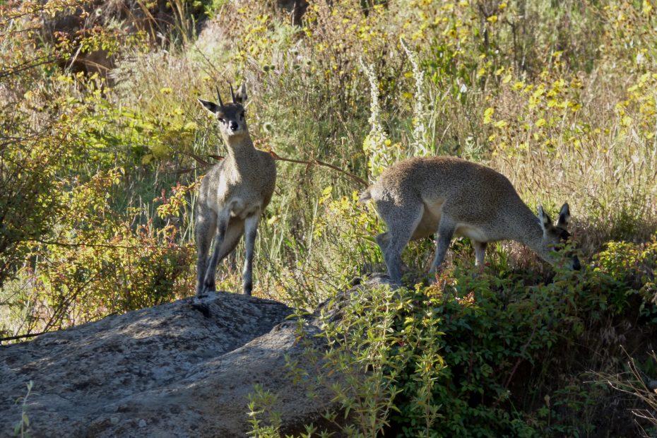 Oreotrague, le chamois éthiopien, Parc National du Simien