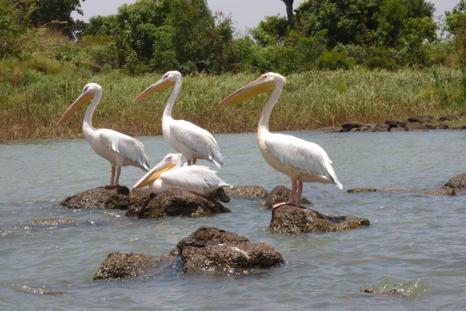 Pélicans, Lac Tana