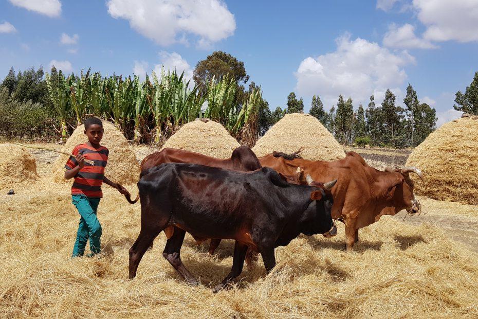 Battage du teff chez les Oromo_1