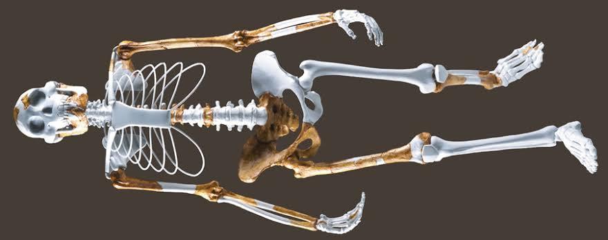 Reconstitution du squelette de Lucy