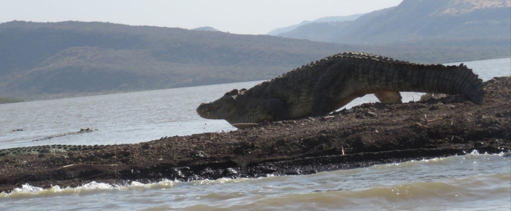 Crocodile au lac Chamo