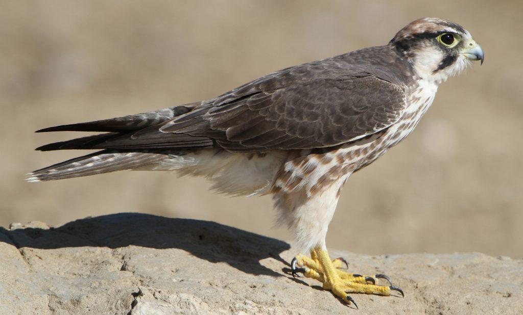 Faucon de Lanner, Falco Biarmicus, au parc transfrontalier Kgalagadi