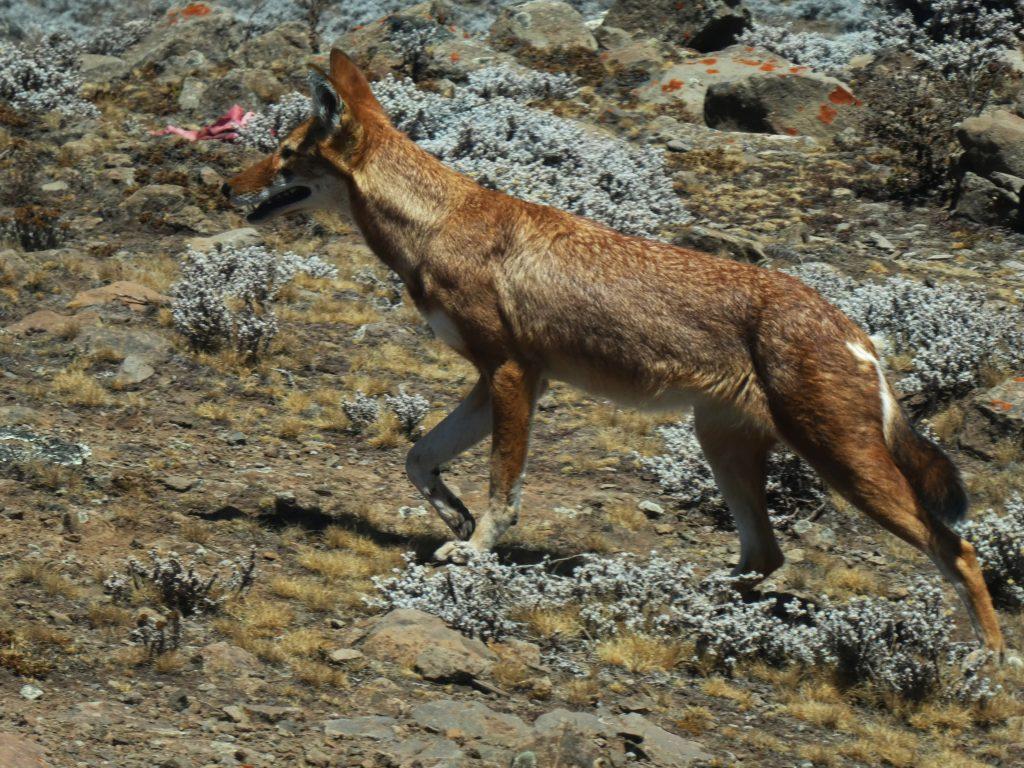 Loup d'Abyssinie Parc du Bale