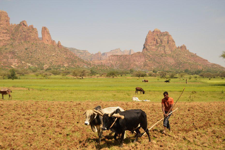 Labourage dans la plaine du Gheralta