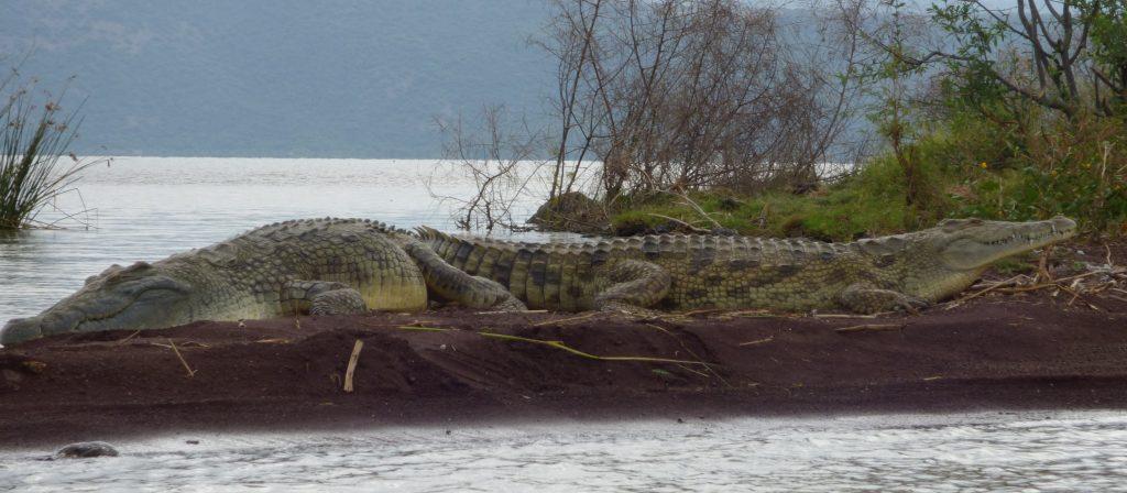 Crocodiles, Lac Chamo