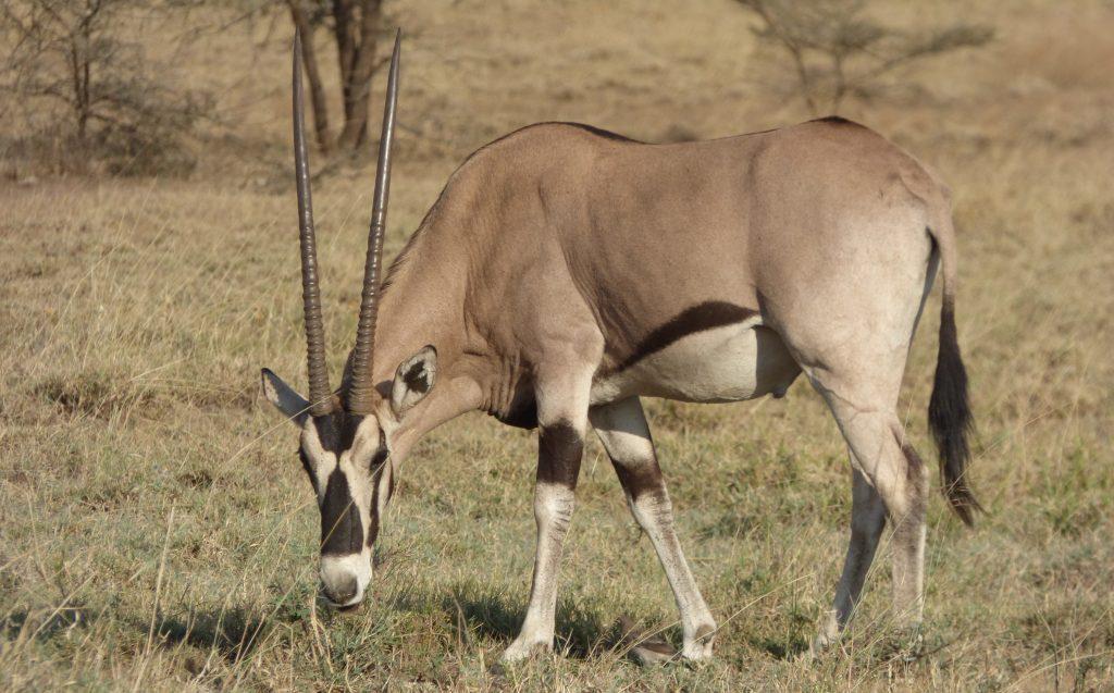 Oryx Beisa, Parc national de l'Awash
