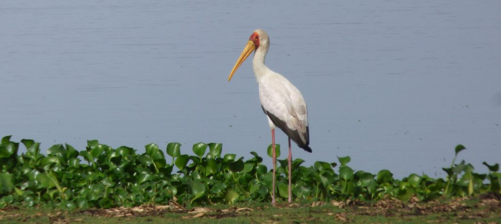 Ibis Tantale, Lac Ziway