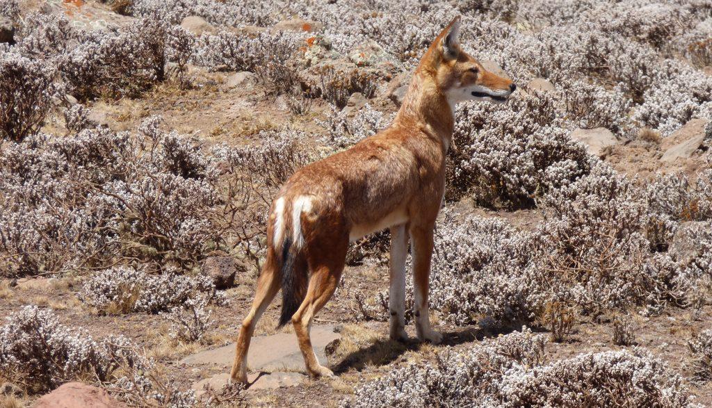 Loup d'Abyssinie, Parc du Balé